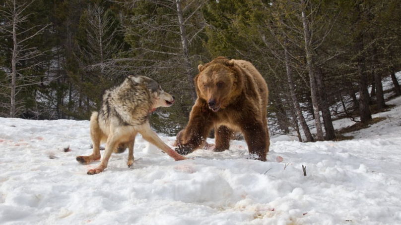 Grizzly Bear Steals Dinner From Three Wolves In An Epic Fight