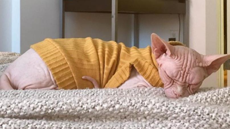 Instagram Cat Loki The Sphynx Has Died After Routine Dental Procedure