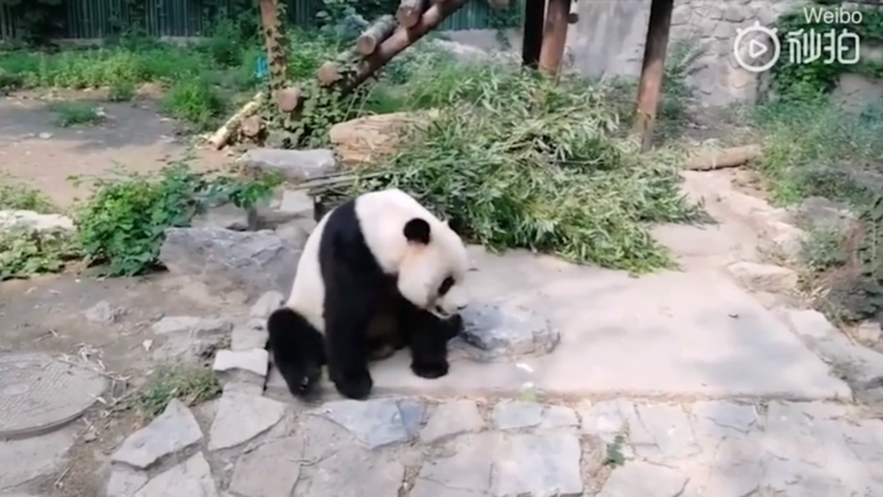 Tourists Filmed Throwing Rocks At Giant Panda In Chinese Zoo