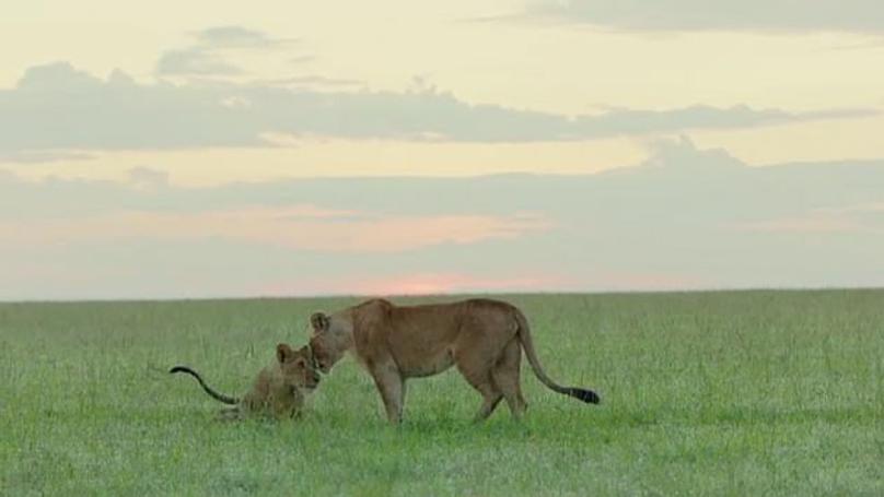 王朝:两只周日剧集里的小狮子死了