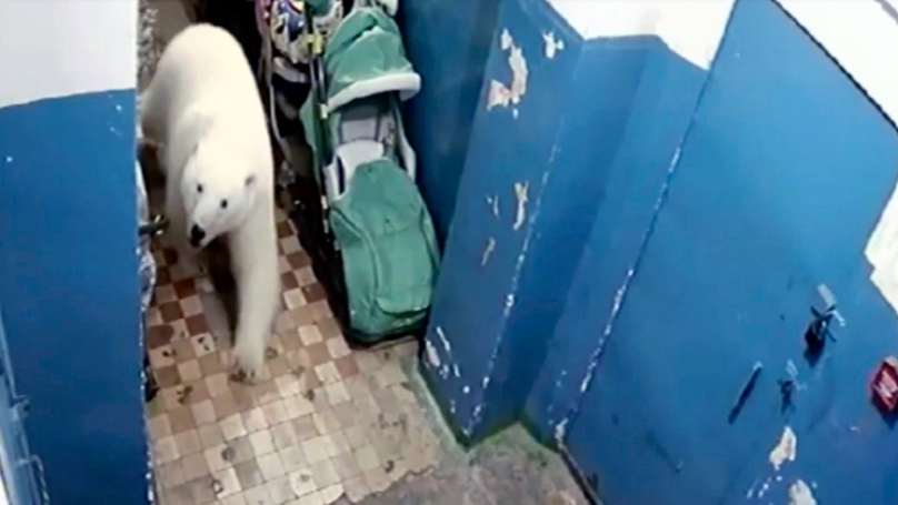 More Than 50 Polar Bears Invade Russian Town Causing A State Of Emergency