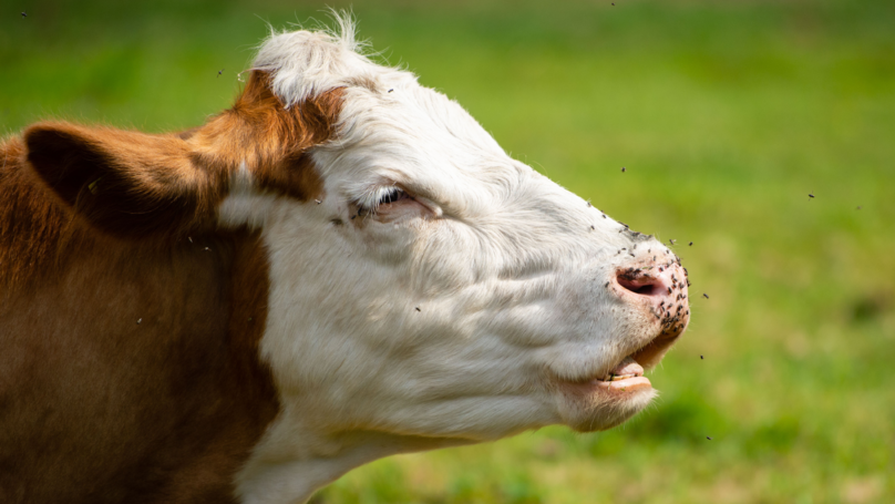 Property Owner Cops Noise Complaint From Neighbour About Cows Mooing Too Loud