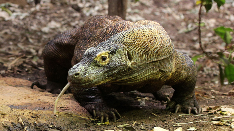 Indonesian Governor Suggests Genetically Engineering Komodo Dragons To Make Them Bigger