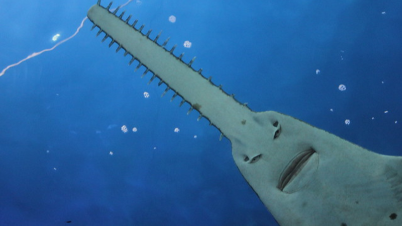 Sawfish Look Like 'They're Not Buying Your B*llshit Excuses'