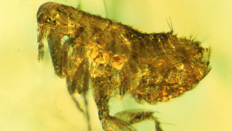 The UK Could Be About To Experience 'Bigger Than Ever' Flea Infestation