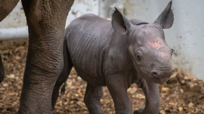 ​Second Eastern Black Rhino Born At Cleveland Zoo