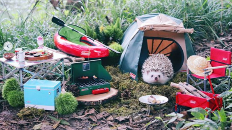 ​Tiny Hedgehog's Adventure-Filled Camping Trip Goes Viral