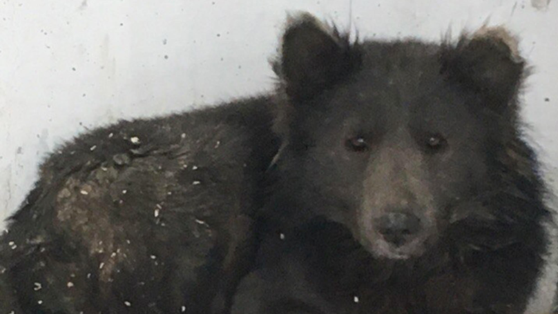 The Mysterious Russian Wolf/Bear Has Been Revealed To Be A Dog