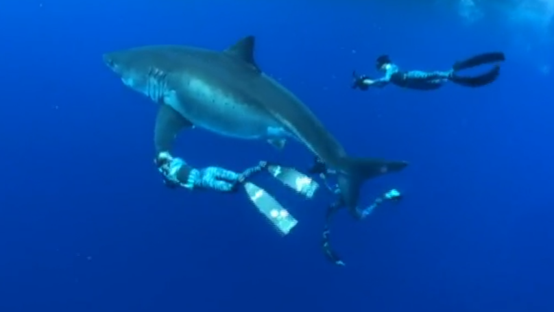 Divers Spot The World's Largest Ever Recorded Great White Shark Feasting On Whale