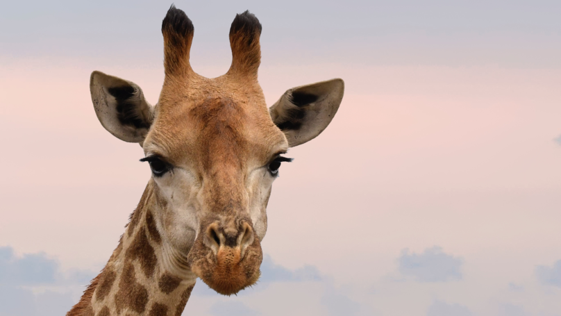 Giraffes Have Been Added To The Endangered Species List