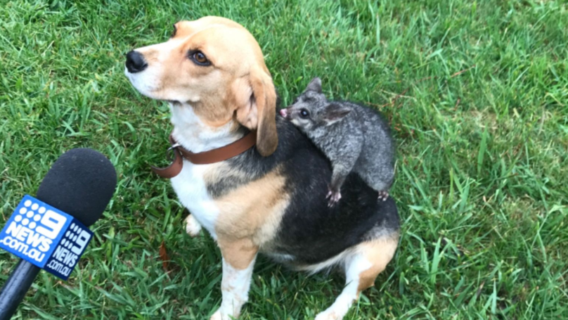 Beagle Who Lost Litter Adopts Baby Possum And It's Absolutely Adorable