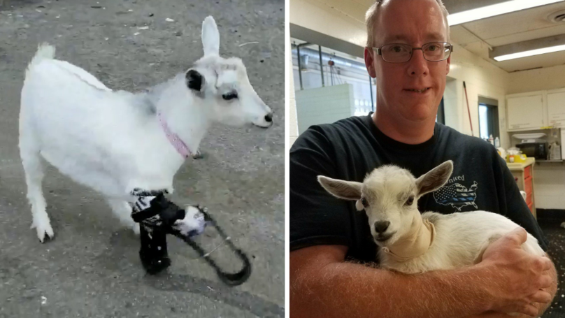 Incredible Moment Baby Goat Walks Again After Getting Legs Chewed Off By Dog