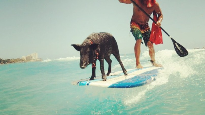 A Family Of Pigs Are Showing Surfers How It's Done