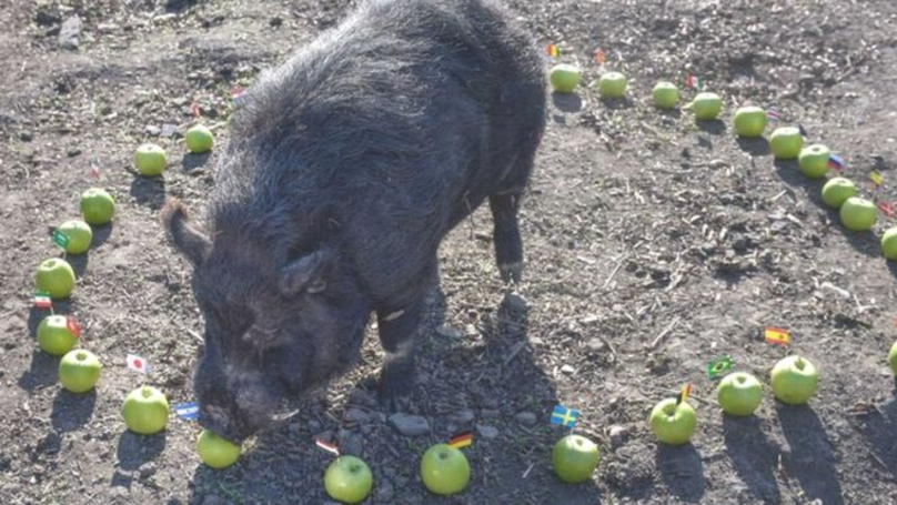 Marcus The Mystic Pig Predicts The Semi-Finalists Of The 2018 World Cup