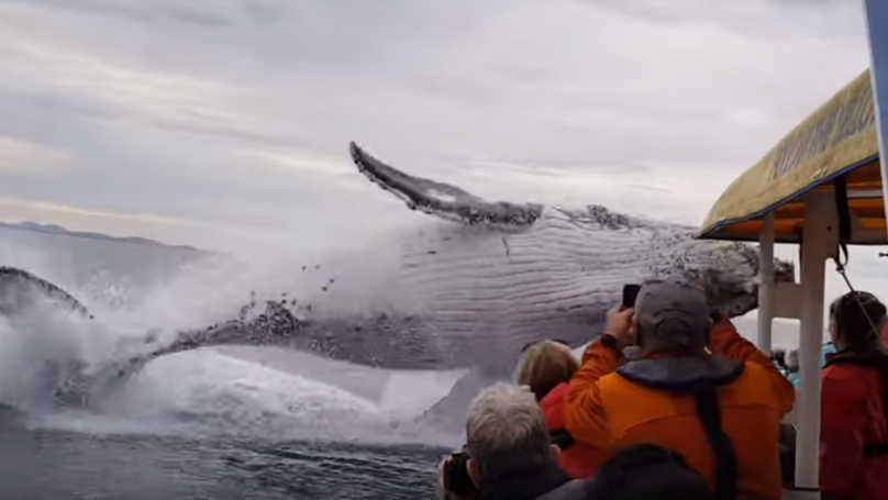 Humpback Whale Breaches By Boat And Drenches Whale Watchers In Incredible Footage