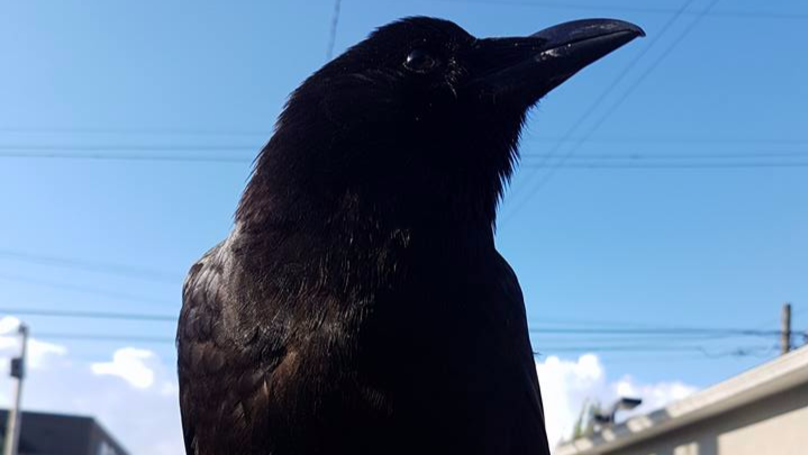 Postal Services In Canada Have Been Stopped Due To Vicious Crow