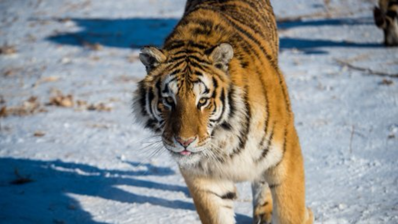 Injured Siberian Tiger Overcomes Its Instincts To Seek Out Human Help