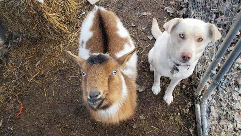 Watch As Missing Labrador Returns Home With Another Dog And A Goat In Tow
