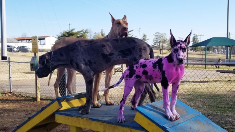 Woman Dyes Her Great Dane Pink To Make It Look Less Scary