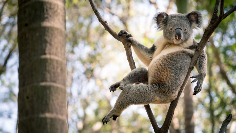 Koala Goes Viral After Striking Seductive Pose In Tree