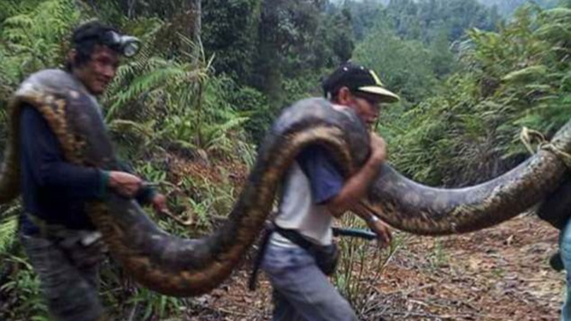 Bornean Villagers Eat Giant 20ft Python Found Mating With Tiny Male