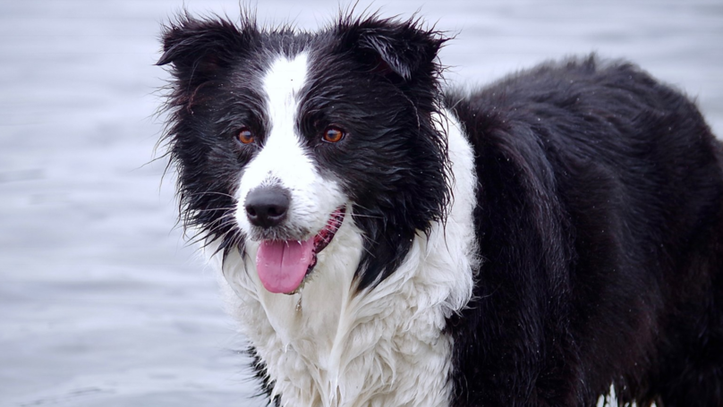 Four Border Collies Have Been Euthanised After Failing To Recover From Severe Mental Trauma