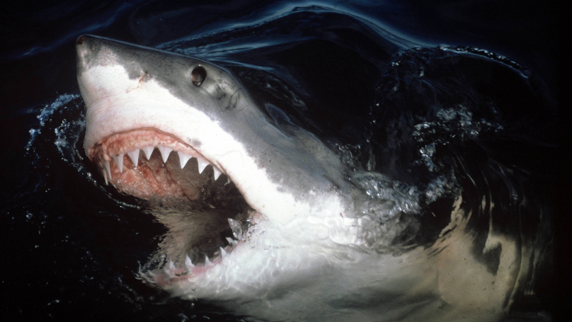 Fears Of Great White Shark Grow After Dolphin Carcasses Wash Up On UK Beaches
