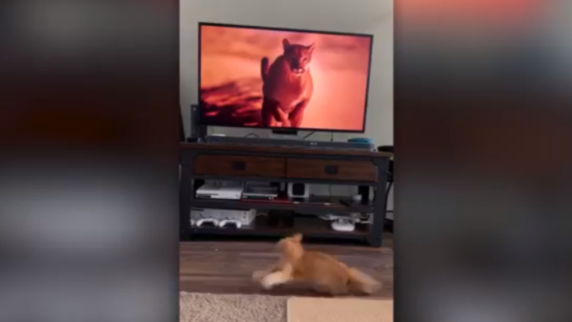 Cat Gets Scared By Puma Running On TV In Front Of Him