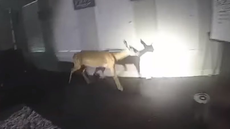 Police Respond To Report Of A Burglary, Find Deer Smashing Up The Gaff