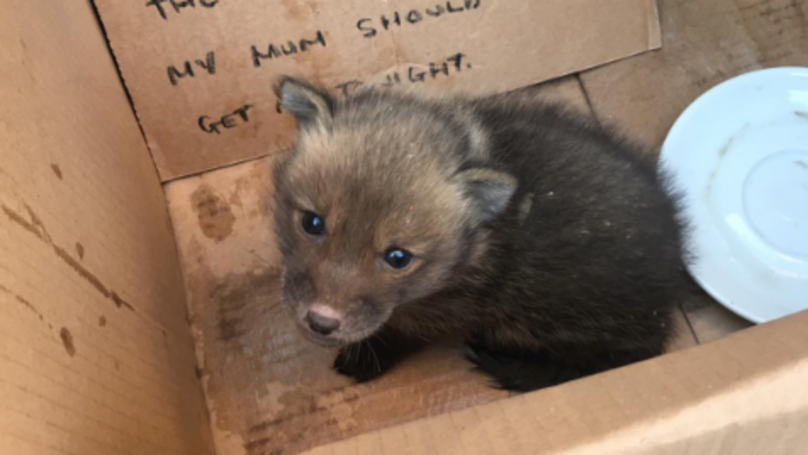 A Baby Fox Stuck In A Wall Was Rescued By Firefighters And Named Ian