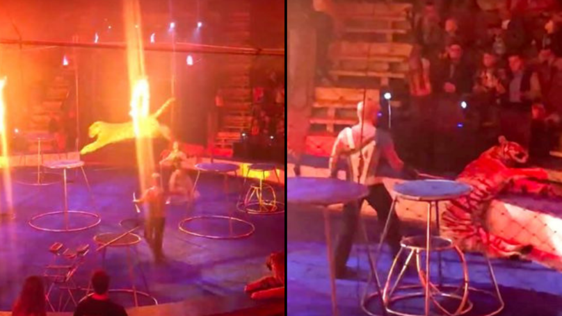 Tiger Fits, Collapses And Has Convulsions After Being Forced To Jump Through Ring Of Fire