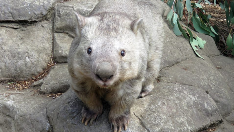 Aussie Zoo Devastated After The World's Oldest Wombat Dies