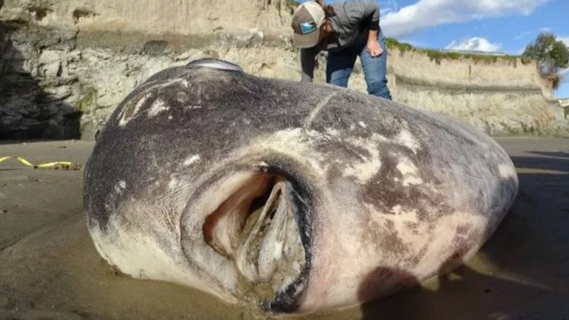 Experts Solve Mystery Of Bizarre 7ft Fish Washed Up On US Beach