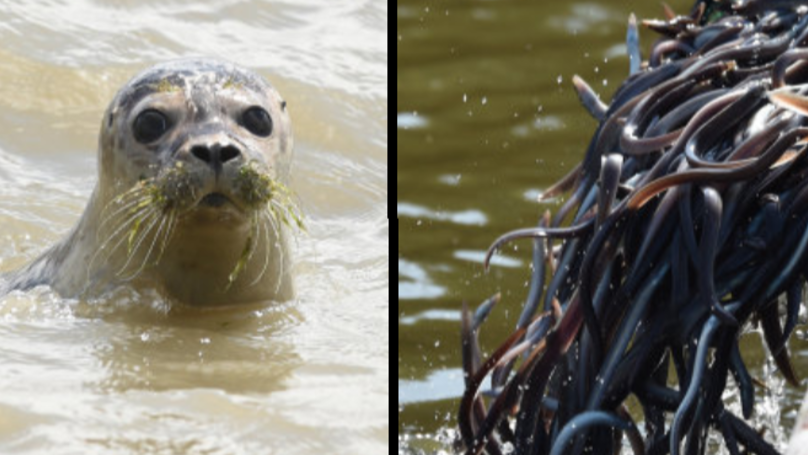Researchers Baffled As To How A Seal Got An Eel Stuck Up Its Nose