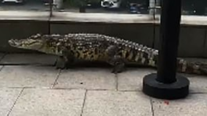 Alligator Filmed Being Walked In Street By Its Owner
