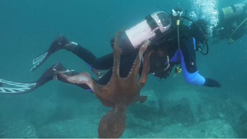 Huge Octopus Launches Itself Onto Diver In Sea Of Japan