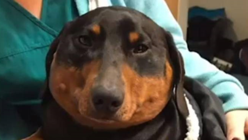 Swollen Dachshund Has To Be Deflated By Vets