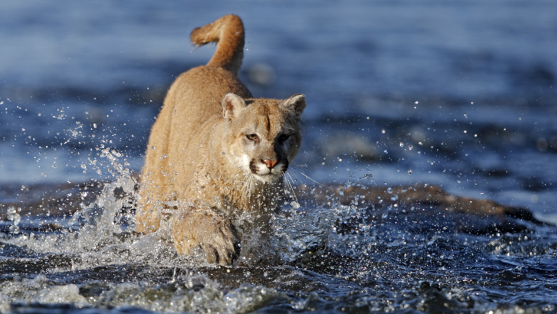 Runner Kills Cougar With Bare Hands After It Attacks Him