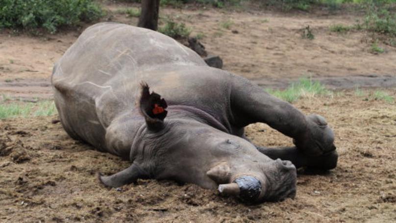 Biotech Startup Plans To Sell Fake Rhino Horns To Disrupt Poaching Market