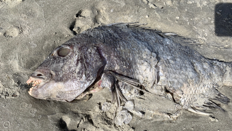Mum Discovers Fish With 'Human Teeth' While Walking On Beach