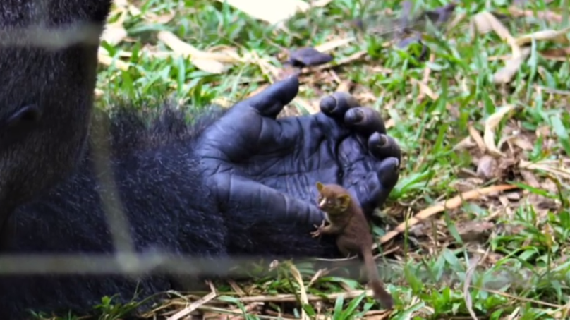 Incredible Moment 25 Stone Gorilla Befriends Bush Baby The Size Of Its Finger