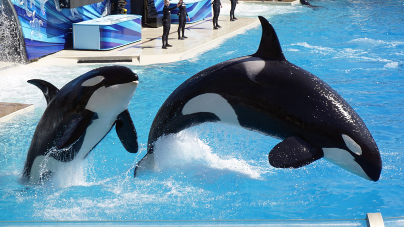 Virgin Holidays Scraps Trips To SeaWorld And Other Captive Whale Attractions