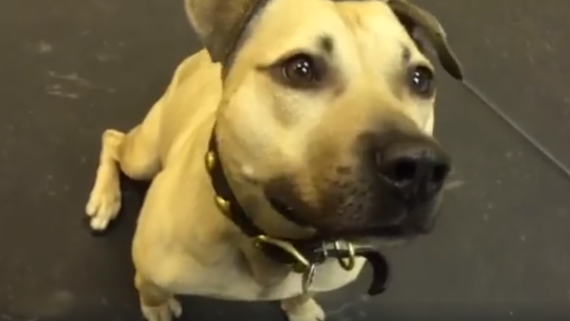 ​Rescued Fighting Dog Has The Best Reaction To Being Given Pizza