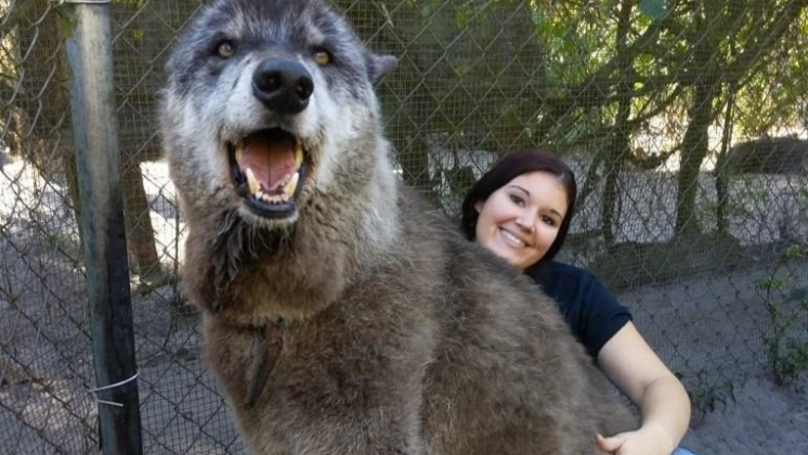 Wolf Dog Sent To Kill Shelter Gets Second Chance At Love