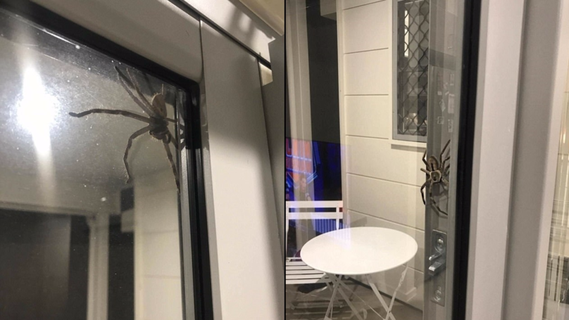 Huge 'Angry' Huntsman Spider Intimidates Couple As They Try To Cook