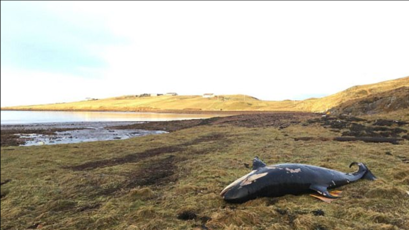 Orca Calf Found Dead After It Was Blown On Land By Storm