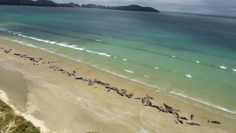 145 Whales Die After Beaching On Remote Beach In New Zealand