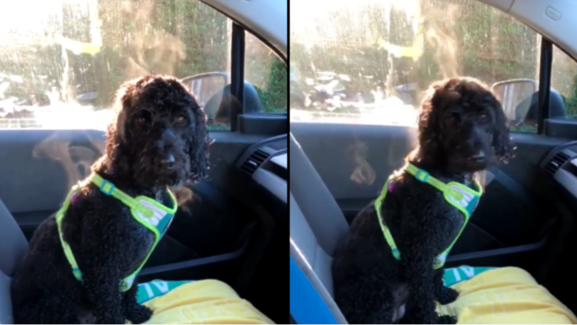 Dog With Steam Coming Off It Shows Why You Shouldn't Leave Your Four-Legged Friend In The Car