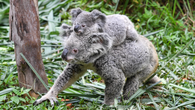 Researchers Have Found A Group Of Koalas That Could Save The Species