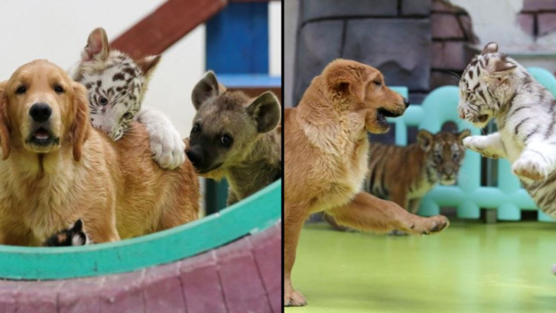 Golden Retriever Brings Up Abandoned Lion, Tiger And Hyena Cubs